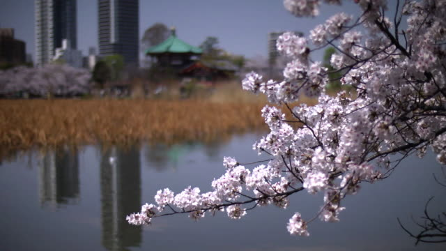 cherry blossoms at shinobazu pond, tokyo, japan - shinobazu pond stock videos and b-roll footage