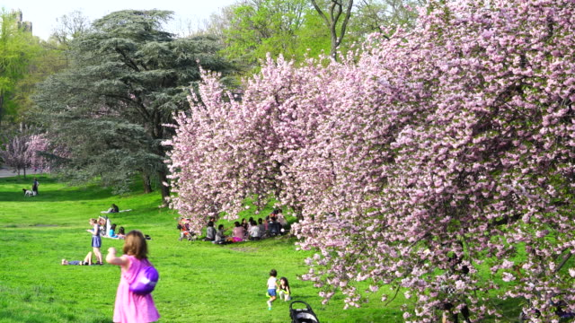 cherry blossoms bloomed in the lawn beside the central park reservoir in new york. people sit down on the lawn and enjoy flower viewing. - central park reservoir stock videos and b-roll footage