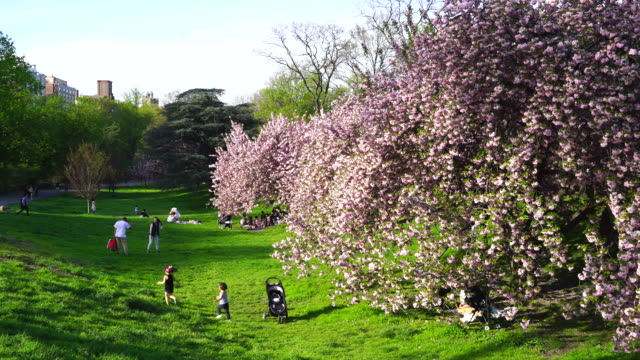 cherry blossoms bloomed in the lawn beside the central park reservoir in new york. children run around cherry blossoms trees. people sit down on the lawn and enjoy flower viewing. - central park reservoir stock videos and b-roll footage