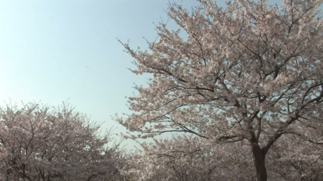 Cherry blossoms blowing in wind against sky