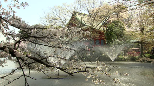 ms cherry blossoms by pond with shinto shrine in background, kichijo-ji, tokyo, japan - shrine stock videos and b-roll footage