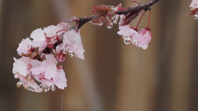 cu of cherry blossoms covered in ice and being snowed on - portland oregon snow stock videos & royalty-free footage