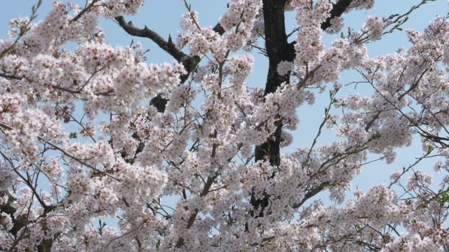 Cherry Blossoms Falling in the Wind (Slow Motion)