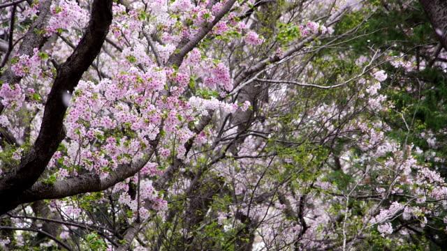 Kirsche Blüten :  Blume Blütenblätter fallen Saison endet in