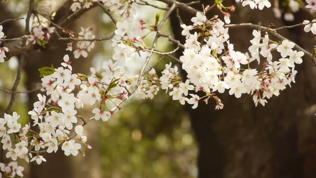 Cherry blossoms: flowers against falling petals in woods