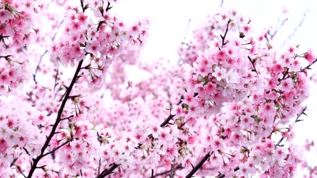 cherry blossoms fluttering in the wind - midday stock videos & royalty-free footage