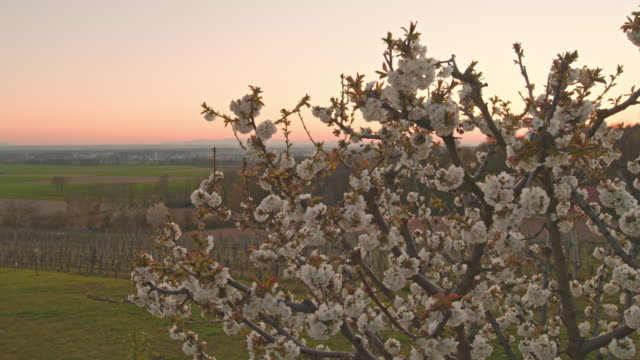 ms cherry blossoms growing on tree on idyllic rural hill at sunset - cherry blossom stock videos & royalty-free footage