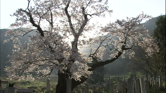 Cherry blossoms in backlight.