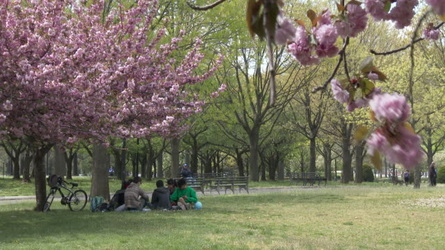 vídeos de stock, filmes e b-roll de cherry blossoms in bloom, people relaxing under a tree - flushing meadows park - flushing meadows corona park