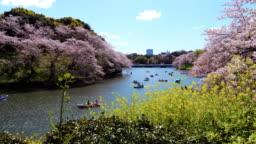 Cherry blossoms in Chidorigafuchi park public park in tokyo Japan , SLOW MOTION