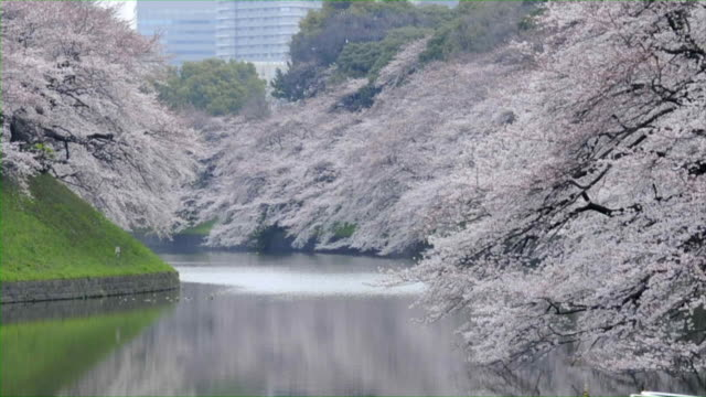 cherry blossoms in chidorigafuchi, tokyo - moat stock videos and b-roll footage
