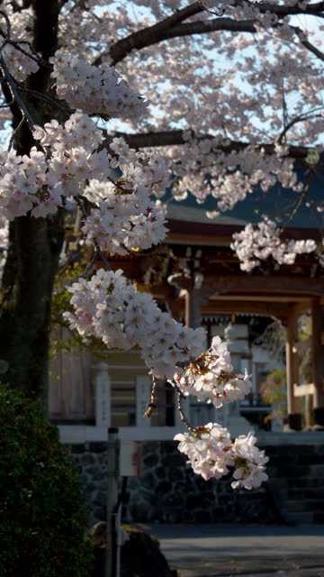 cherry blossoms in front of a temple swaying in the wind (vertical/zoom in) - vertical stock videos & royalty-free footage
