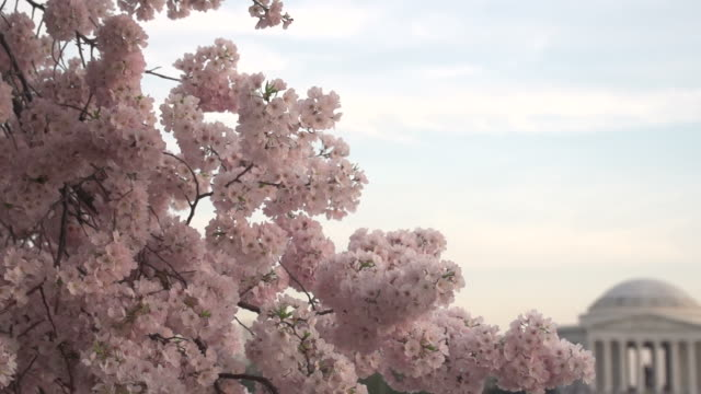 cherry blossoms in front of jefferson memorial - jefferson memorial stock videos & royalty-free footage