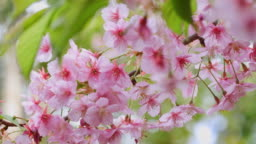 Cherry blossoms in full bloom swaying in the wind