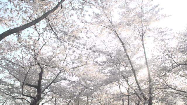 桜が満開です - 政治行動委員会点の映像素材/bロール