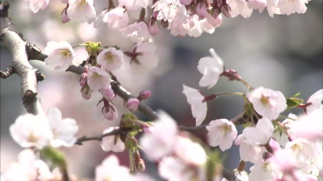 vidéos et rushes de cherry blossoms in goryokaku park - bouton de fleur