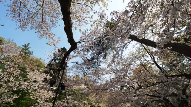 cherry blossoms in hirosaki, low angle - satoyama scenery stock videos and b-roll footage