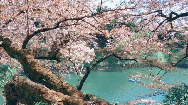 日本の桜 - 運河点の映像素材/bロール