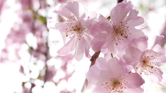 cherry blossoms in japan - beauty in nature stock videos & royalty-free footage