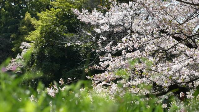 日本の桜 - 太白桜点の映像素材/bロール