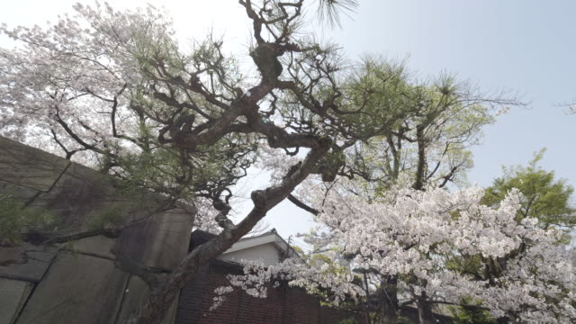 cherry blossoms in osaka, park, pan left - satoyama scenery stock videos and b-roll footage