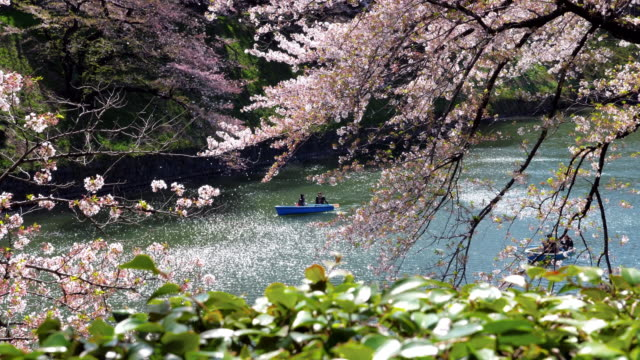 cherry blossoms in public park in tokyo japan , slow motion - petal stock videos & royalty-free footage