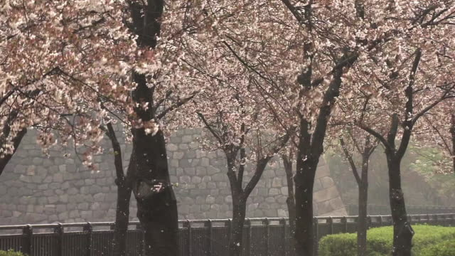 cherry blossoms in rain, osaka, japan - kanto region stock videos and b-roll footage