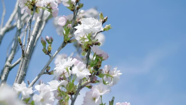 stockvideo's en b-roll-footage met kersenbloesems in de lente - sunny