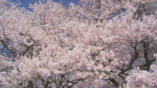 cherry blossoms in takato joshi park - cherry blossom stock videos & royalty-free footage