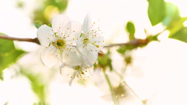 vidéos et rushes de cerisiers en fleurs dans la nature - branche partie d'une plante