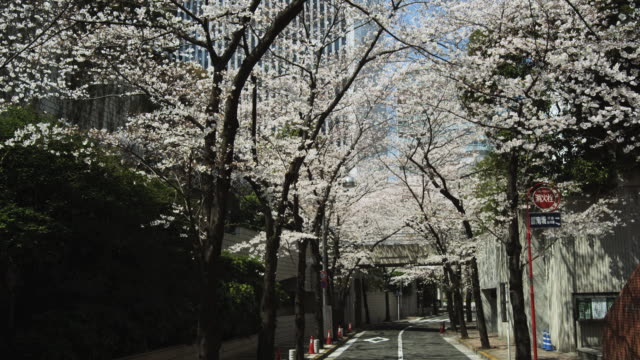 Cherry blossoms in Tokyo,Japan