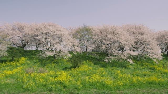 Cherry blossoms mustard flower in Japan