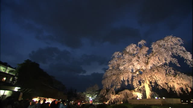 cherry blossoms of gion, kyoto at night - kyoto stock videos and b-roll footage