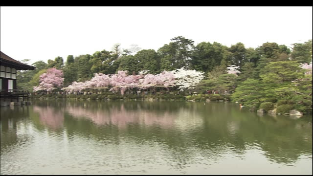 cherry blossoms of heian jingu shrine - shinto stock videos and b-roll footage