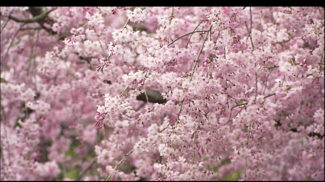 cherry blossoms of heian jingu shrine - cherry blossom stock videos & royalty-free footage