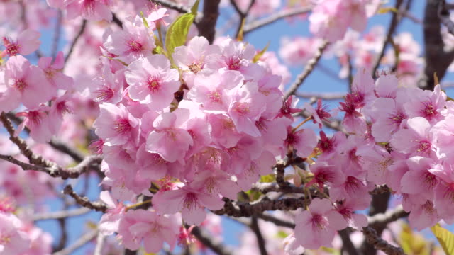 cherry blossoms of japan - cherry tree stock videos & royalty-free footage