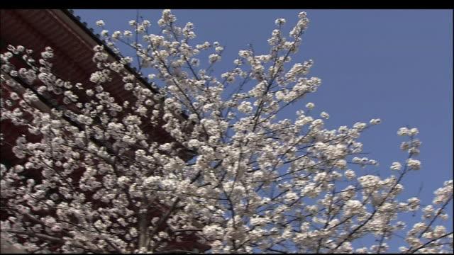 cherry blossoms of kiyomizu temple - stilrichtung des 17. jahrhunderts stock-videos und b-roll-filmmaterial