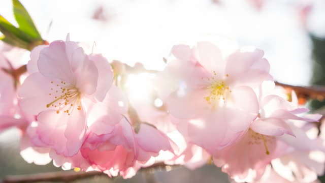 vídeos de stock e filmes b-roll de cherry blossoms on a beautiful sunny day - brightly lit