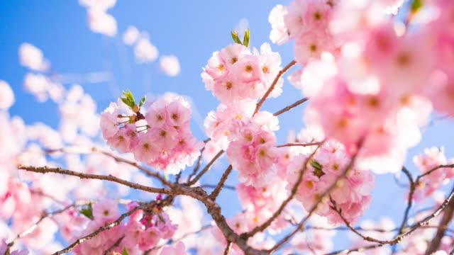 vídeos de stock, filmes e b-roll de flores de cerejeira sobre um fundo de céu claro - flor de cerejeira