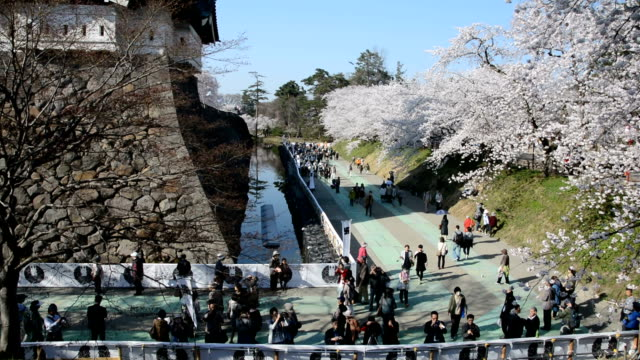 cherry blossoms on more than two thousand cherry trees against old warlord castle here are attracting many tourists from home and abroad and... - vallgrav bildbanksvideor och videomaterial från bakom kulisserna