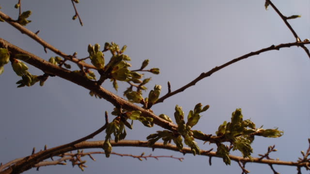 cherry blossoms open against a blue sky. available in hd. - bud stock videos & royalty-free footage