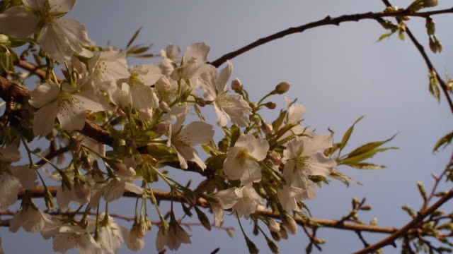 stockvideo's en b-roll-footage met cherry blossoms open against a blue sky. available in hd. - tijdopname