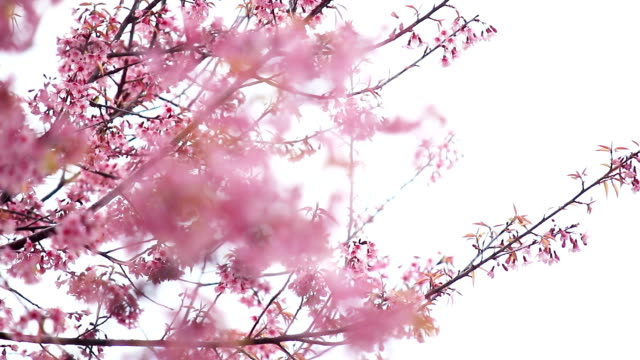 cherry blossoms or sakura flower in spring season