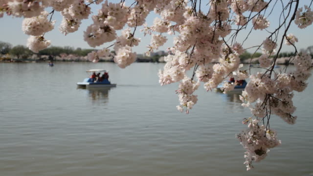 Cherry Blossoms paddle boats