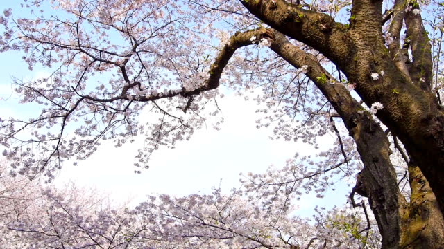 cherry blossoms: petals fall as if snow - petal stock videos & royalty-free footage