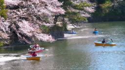 Cherry blossoms petals falling in Chidorigafuchi park public park in tokyo Japan , SLOW MOTION