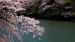 Cherry blossoms petals falling in Chidorigafuchi park public park in tokyo Japan