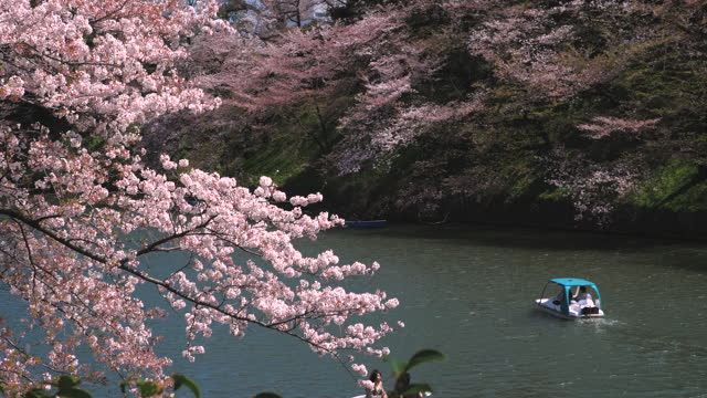 cherry blossoms petals falling in chidorigafuchi park public park in tokyo japan - annual event stock videos & royalty-free footage