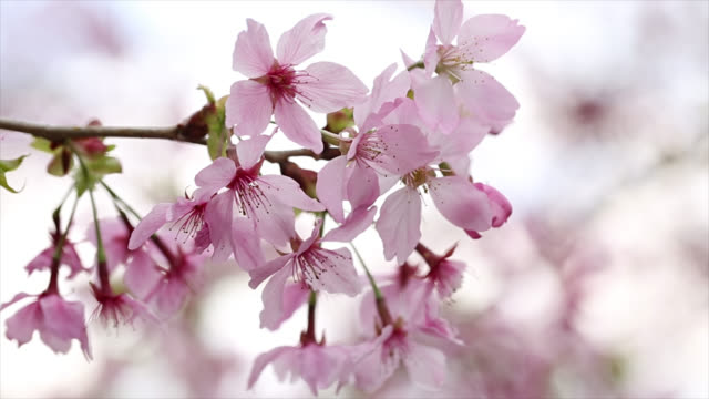 Kirsche Blüten Sakura in Japan