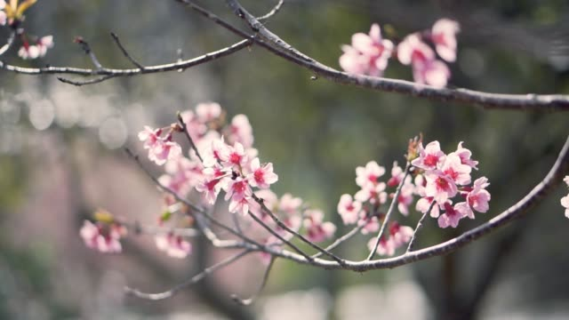 cherry blossoms , sakura thailand prunus cerasoides in springtime season - fruit tree stock videos & royalty-free footage